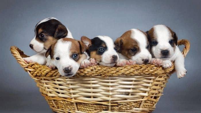 К чему снятся много щенков маленьких