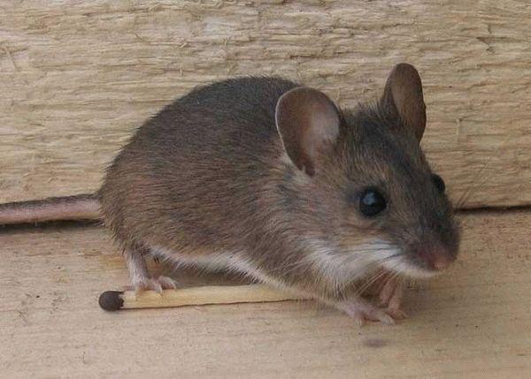 заговор от мышей