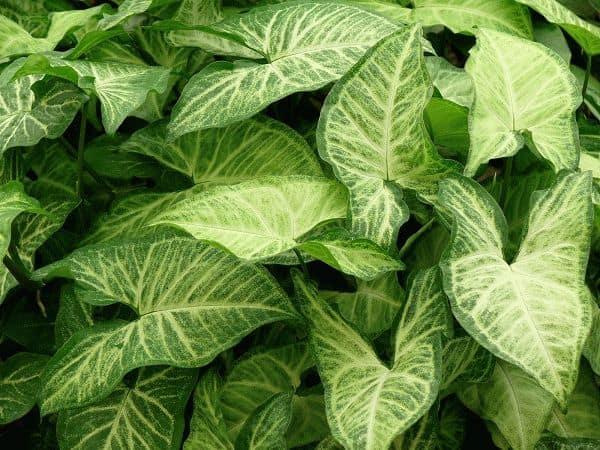 листья сингониума